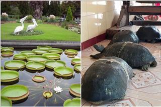 Đá mỹ nghệ Anh Đức – Ly kỳ chuyện rùa ăn chay, nghe kinh Phật và những chiếc lá sen khổng lồ tại chùa Phước Kiển